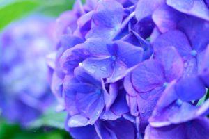 紫陽花 英語